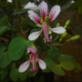 Bauhinia corymbosa - Orchids Vine (Bauhinia corymbosa - Orchids Vine)