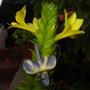 Barleria oenotheroides - Giant Yellow Shrimp Plant (Barleria oenotheroides - Giant Yellow Shrimp Plant)