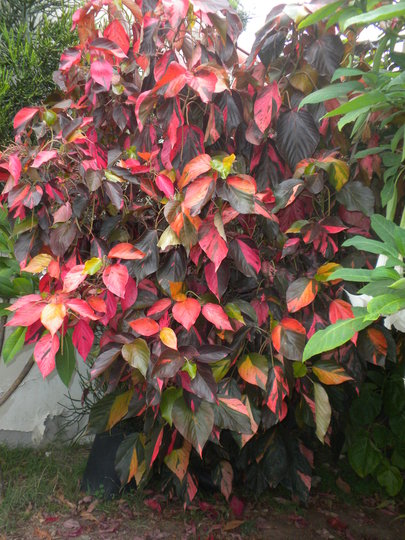 Acalypha wilkinsiana 'Musaica' -  Copper Plant (Previous known as variety: Jungle Dragon) (Acalypha wilkinsiana 'Musaica' -  Copper Plant)