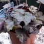 Heuchera_111019_3_