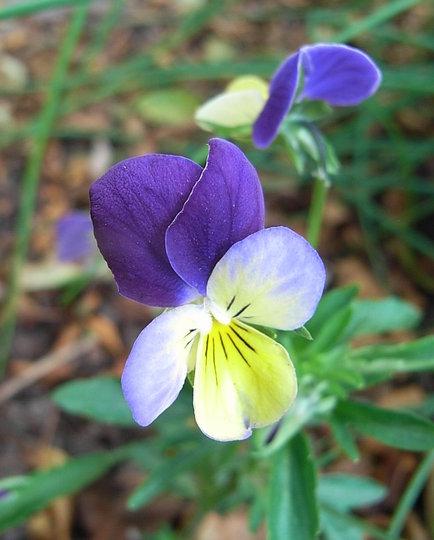 Viola tricolor (Viola tricolor)