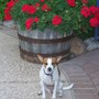 cookie the garden dog and her geraniums