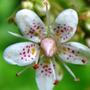 Saxifraga Umbrosa (Saxifraga Umbrosa)