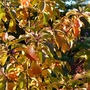 Dwarf Cherry Tree (fruiting) with it's autumn coat on.