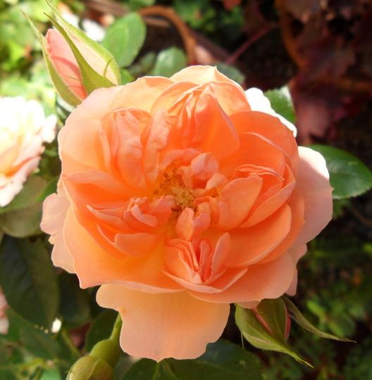 Rosa 'Sweet Wonder' (Rosa 'Sweet Wonder')