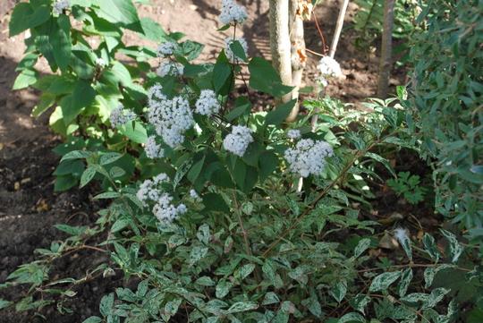 Eupatorium...... (Eupatorium rugosum (White snake root))