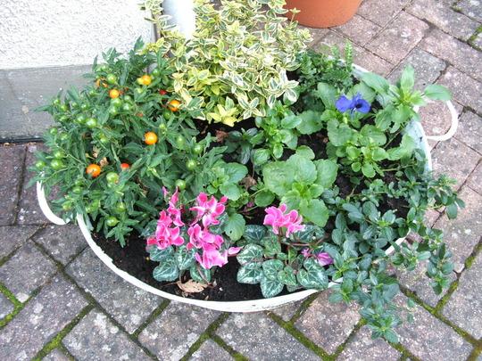 Old Tin bath planter