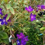Tibouchina lepidota (semidecandra; lasiandra) - Glory Bush (Tibouchina lepidota - Glory Bush)