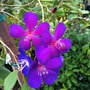 Tibouchina lepidota (semidecandra; lasiandra) - Glory Bush (Tibouchina lepidota (semidecandra; lasiandra) - Glory Bush)