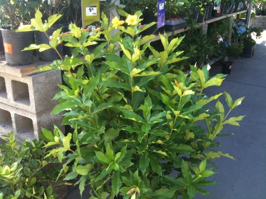 Allamanda neriifolia - Golden Trumpet (Allamanda neriifolia - Golden Trumpet)