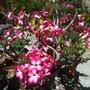 Adenium obesum - Desert Rose (Adenium obesum - Desert Rose)