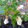 Abelia x grandiflora 'Kaleidoscope' (Abelia x grandiflora 'Kaleidoscope')