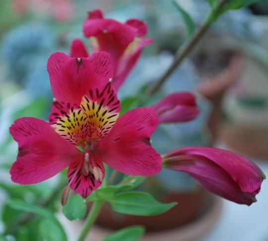 Alstroemeria Red Andes.... (Alstroemeria Red Andes.)