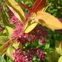 Spiraea_goldflame_in_flower