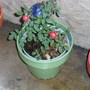 The red rose, what a trouper! Oct 2011