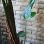 The giant bird of paradise, with new shoots. Oct 2011