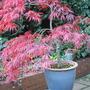 Autumn_coloured_acer