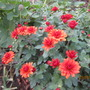 Red_chrysanths