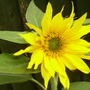 Smaller Sunflower