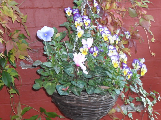 my hanging baskets first time iv done winter ones and i am really pleased :)