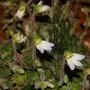 Petrocosmea rosettifolia (Petrocosmea rosettifolia)