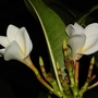 Plumeria rubra (Plumeria rubra (Atabaiba Rosada))