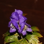 "Aconitum carmichaelii ""Arendsii"" (Aconitum carmichaelii (Monkshood))"