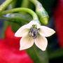 Turk's Cap Flower (Capsicum: Chinense)