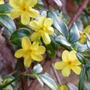 Winter Jasmine (Jasminum nudiflorum (Winter jasmine))