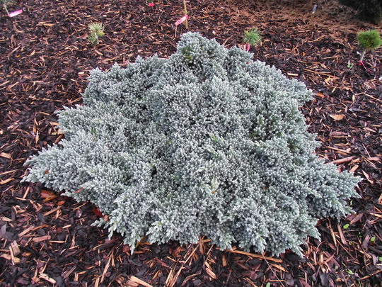 Juniperus squamata 'Blue Star' (common name; Flaky juniper)