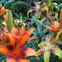 Mid-Spring Downunder - Asiatic Lilies blooming (Lilium)