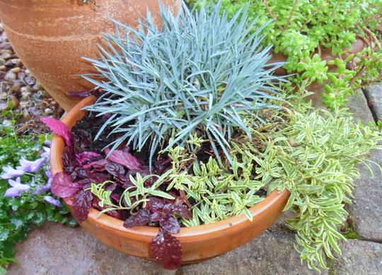 Cuttings pot (Veronica prostrata 'Goldwell')