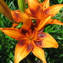 Mid-Spring Downunder - Asiatic Lily blooming (Lilium)