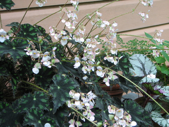 Mid-Spring Downunder - Begonia 'Tiger Paw' blooming (Begonia)