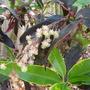 Mid-Spring Downunder - Codiaeum variegatum or Croton blooming (Codiaeum variegatum)