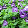 Mid-Spring Downunder - Torenia &#x27;Violet Magic&#x27; blooming (Torenia fournieri (Wishbone Flower Duchess Mixed))