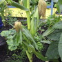 Sweetcorn Cobs 19.8.07