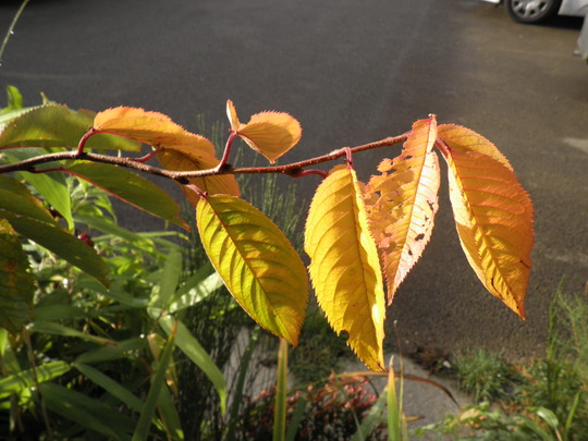 Autumn colour outside my window