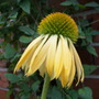 "Echinacea ""Harvest Moon"" (Echinacea)"