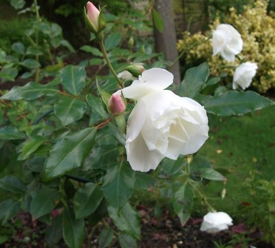 Rose Margaret Merril Floribunda still giving lots of blooms (Rose Margaet Merril)