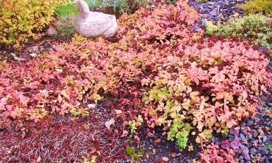 Sedum ellacombianum has gone very red this strange autumn (Sedum ellacombianum)
