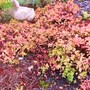 Sedum ellacombianum has gone very red this strange autumn (Sedum ellacombianum)