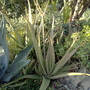 Aloe vera flower stalk (Aloe vera (Aloe))