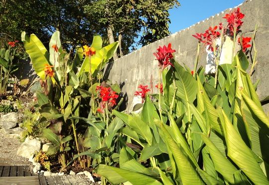 Canna 'Lucifer' (tall ones on the right) (Canna indica (Indian shot plant))