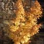 Sango kaku October (with sun : ) (Acer palmatum (Japanese maple))