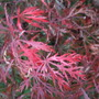 Acer_changing_colour