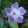 Vinca difformis &#x27;Jenny Pym&#x27; (Vinca difformis)