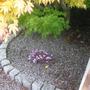 Cyclamen_hederifolium_with_acer_palmatum_foliage_08_09_2011_16_51_02