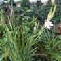 Schizostylis 'pink princess' (Kaffir Lily)