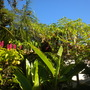 A Mass Of Plants:  Kentia Palms, Coffee Tree, Brazilian Red Cloak, Heliconia, Angel's Trumpets (Kentia Palms, Coffee Tree, Brazilian Red Cloak, Heliconia, Angel's Trumpets)